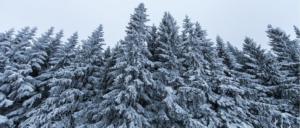 Screenshot_2020-03-15 Toutes les tailles Norway Spruce (Picea abies) Flickr partage de photos