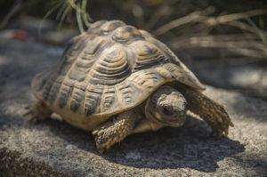 Découvre la tortue terrestre en t'amusant