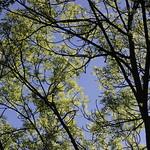 Branches de frêne