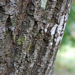 Tronc de frêne