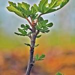 Branche de figuier