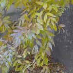 Feuilles de frêne