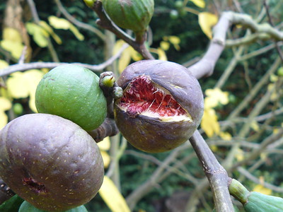 3 figues