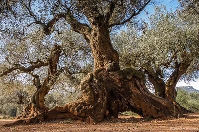 Très vieil olivier en Andalousie