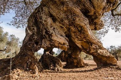 Un très vieil olivier en Espagne