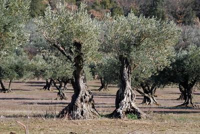 Champ d'oliviers en Provence