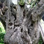 Tronc d'olivier