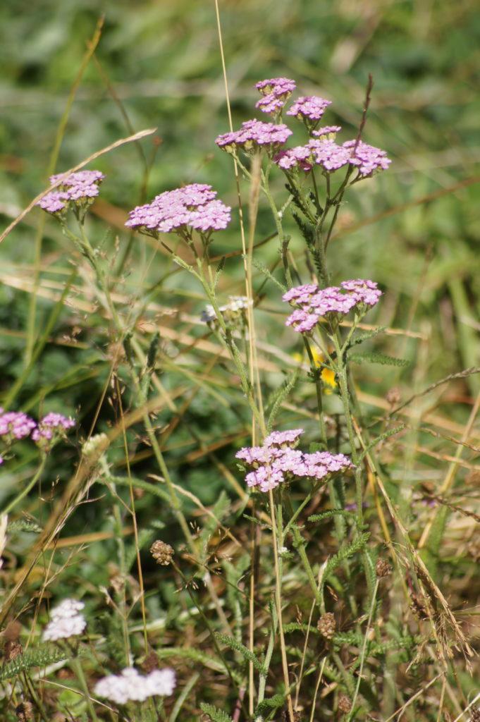 Achillée millefeuille violet 2
