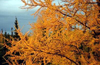 Branches de mélèze