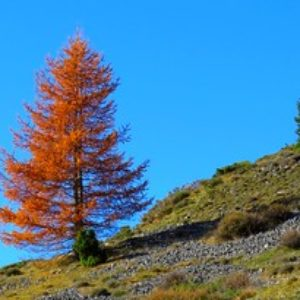The larch tree