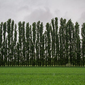 The poplar tree