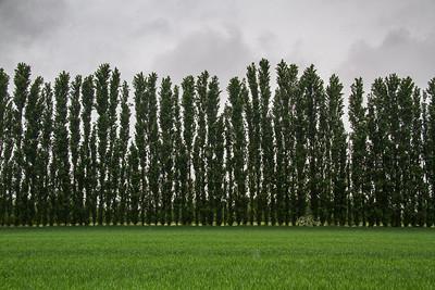 The poplar tree