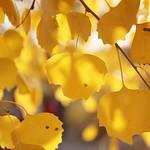 Petites feuilles de peuplier