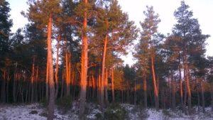 Forêt de pins sylvestre