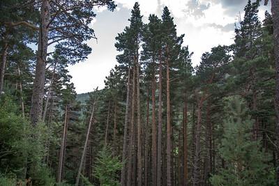 Forêt pins sylvestre