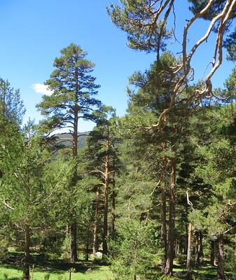 Forêt de pins sylvestre 1