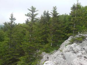 Forêt de sapins rochers