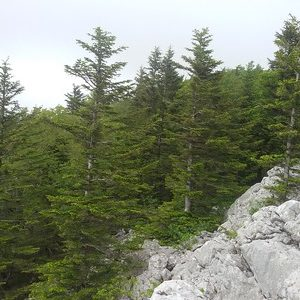 The pectinated fir tree