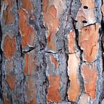 Zoom sur le tronc d'un pin sylvestre