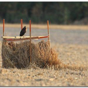 The beautiful story of my 2020 grey buzzard protection season