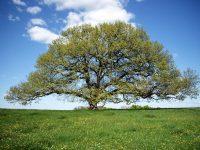 chêne de tombeboeuf1